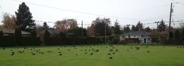 crows-1-img_2508