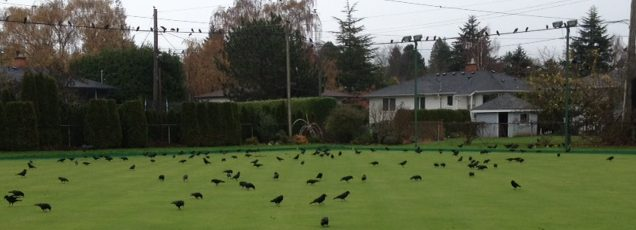 crows-2-img_2509