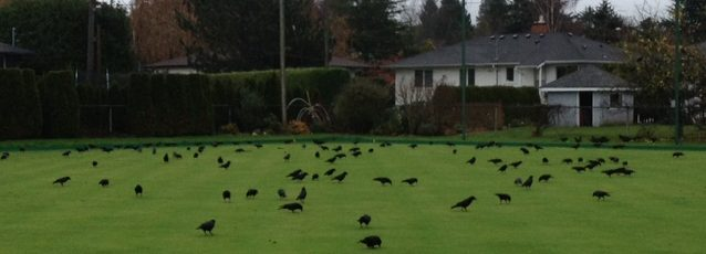 crows-3-img_2510