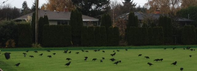 crows-5-img_2512